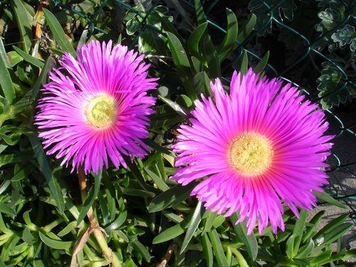 Ces plantes qui poussent dans le sable se garnissent de fleurs très agréables à regarder.